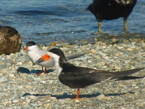 Black Skimmer, Common Tern and Eider legs
