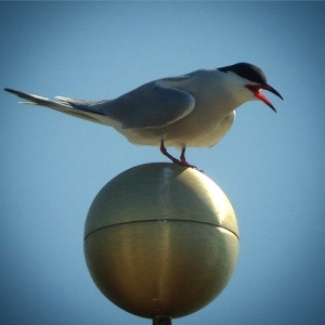 Common Tern on flagpole