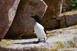 One of our nesting Razorbills at burrow #8.